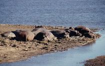 Auch im Chobe gab es Flusspferde (Hippopotamus amphibius), An Land muss ihre Haut feucht bleiben, sonst wird sie rissig. Spezielle Hautdrüsen sondern eine schützende Flüssigkeit ab, die sich bald rötlich verfärbt. Flusspferde schwitzen also kein Blut.
