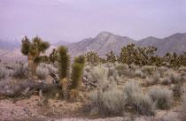 Im Anza-Borrego Desert State Park findet man u.a. viele wilde Wüstenpflanzen aber auch -Tiere wie Wegekuckucke, Steinadler, Kitfüchse, Chuckwallas oder Rote Diamant-Klapperschlangen. (s. auch Bildergalerie USA III).