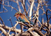 Auf unseren Fusssafaris im Okavangodelta sahen wir auch gefiederten Kostbarkeiten, wie z.B.- frühmorgens – den Milchuhu (Bulbo lacteus) oder, hier, die Gabelracke (Coracias spatula), einer der schönsten Vögel, dem man in Afrika begegnen kann.