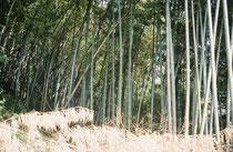 Bambuswald ausserhalb Kyotos. Ich hatte den Eindruck, dass diese weglosen, dichten Bambuswälder gleichsam unberührte Wildnis darstelten, auch wenn die Stadt Kyoto sich unmittelbar bis zu den Rändern dieser Wälder ausdehnte.