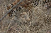 """In der Zone 8 des Parks sahen wir kurz """"Junior Ladali"""" (T61), eine 5-jährige Tigerin, die sich in der Nähe des Territoriums ihrer Mutter """"Ladali"""" (T8, s. u.). niedergelassen und im September 2015 zwei Junge geboren hat (längere Zeit die Parkattraktion)."""