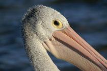 """Der schwarz-weisse Australische Pelikan heisst auch """"Brillenpelikan"""". Bei näherer Betrachtung sieht man denn auch, dass die Augen mit ihrer braunen Iris von einem gelborangen, unbefiederten Augenring umgeben sind (Foto: S. Althaus)."""