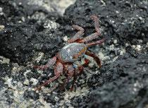 Die Roten Klippenkrabben ernähren sich von Algen, anderen Pflanzenmaterial und Kadavern, die das Meer anschwemmt. (Floreana)