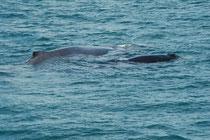 Unsere Walbeobachtungsexkursion war sehr erfolgreich und eindrücklich. Wir sahen mehrere Buckelwalmütter (Megaptera novaeangliae) mit ihren Kälbern auf dem Weg in die Antarktis. Einmal sogar spielten die Kälber zweier Mütter längere Zeit miteinander.