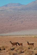 Ein paar andere, prächtige Lamas in dieser typischen Landschaft des Altiplano.
