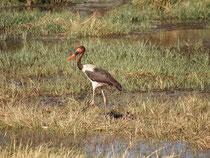 Der Sattelstorch (Ephippiorhynchus senegalensis) kann 145 cm lang werden und hat eine Flügelspannweite von bis zu 250 cm. Damit gehört er zu den grössten flugfähigen Vögeln der Welt. Leider ist er heute durch das Bevölkerungswachstum in Afrika gefährdet.