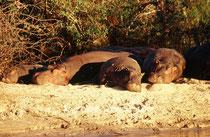 Auch im Zambezi gibt es sie noch, die Flusspferde. Leider gehören diese hochinteresanten zweitgrössten Säugetiere Afrikas mit einem Gesamtbstand von bloss noch 125'000 bis 150'000 Exemplaren (in ganz Afrika) heute bereits zu den gefährdeten Arten.