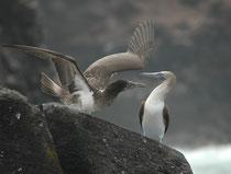 Die Brutzeit der Blaufusstölpel ist fast ganzjährig, jedoch kann ein Weibchen nur alle 8 Monate Eier legen. die 40 Tage lang bebrütet werden. Die Jungen verlassen nach 102 Tagen das Nest und sind erst mit 3–4 Jahren geschlechtsreif.