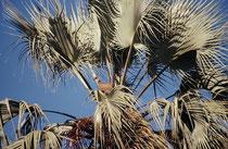 Auf den Inseln finden sich auch Makalani-Palmen (Hyphaene petersiana) und Dattelpalmen (Phoenix reclinata), In der Krone einer dieser Palmen entdeckten wir ein Geiernest mit einem schon recht grossen Jungtier (wohl ein Weissrückengeier [Gyps africanus)]).