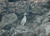"""Der zierliche, auch in der Nacht aktive Krabbenreiher, """"Yellow-crowned night heron"""" (Nyctanassa violacea) sucht einzeln am Wasserrand auf Beute (Krebstiere, Amphibien, Insekten, Weichtiere)."""
