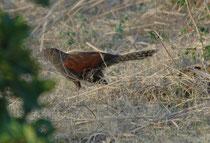 """Der ca. 50 cm grosse Heckenkuckuck (Centropus sinensis), hier ein Jungvogel, wird engl. auch """"Crow Pheasant"""" (Krähenfasan) genannt. Er ist Standvogel in Süd- und Südostasien. Der Nahrungsopportunist jagt meist am Boden nach Beute. Kein Brutparasit !"""