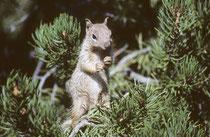 """Ich denke, das ist ein Baumhörnchen (""""Tree Squirrel"""" Art ?). Wir hatten den Eindruck, dass wir in den früheren Jahren (1982) mehr Tiere (insbes. Vögel!) gesehen hatten als im Jahre 1999. Aber das mag auch an der Jahreszeit gelegen haben."""