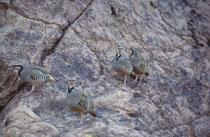 Auf unserem Spaziergang in Calico begegneten wir – etwas überrascht -  dieser Gruppe von Chukarhühnern (Alectoris chukar). Das Chukarhuhn kommt eigentlich vom Balkan bis zur Mandschurei vor. Es wurde aber in Nordamerika als Jagdwild eingeführt (Neozoon).