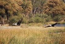 Dieselben Klunkerkraniche beim Wegfliegen. (Moremi, Khwai River). Mit einer Standhöhe von 165 bis 175 cm und einem Gewicht von ca. 8,5 kg ist diese Vogelart sogar noch etwas grösser als der Sattelstorch.