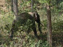 Nicht weit vom Fluss Kosi, im Wald entlang der Autostrasse, entdeckten wir diesen Asiatischen Elefanten (Elephas maximus indicus).Es handelte sich um einen Bullen, denn nur sie haben ausgeprägte, lange Stosszähne, (Kühe haben rudimentäre oder gar keine).