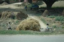 Auch in den Dörfern herrscht ein geschäftiges Treiben. Sorgfältig aufgebaute Haufen aus dem Dung von Wasserbüffeln (Brennmaterial) lagern neben Reisigbündeln während im Vordergrund ein Ochsengespann Getreidegarben transportiert.