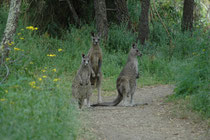 Auf einem der Wanderwege im Tower Hill Reservat, kamen uns diese Grauen Riesenkänguruhs (Macropus giganteus) entgegen. Mit einer Grösse von bis zu 1m 40cm sind sie geradezu furchteinflössend, wenn sie so auf einem zu hoppeln.