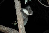Koalas sind überwiegend nachtaktiv und dann erstaunlich lebhaft, wie man sich auf den Nachtexkursionen im  Hanson Bay Sanctuary selbst überzeugen kann. Dieses Junge hüpfte von Stamm zu Stamm (Junge bleiben übrigens etwa 12 Monate bei der Mutter).