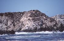 """Eine der vielen Attraktionen auf dem 17 Miles Drive, ist der """"Seal Rock"""". Effektiv findet man sort auch den hellen Seehund, """"Harbor seal"""" (Phoca vitulina richardsi)). Von dieser Unterart gibt es in Kalifornien ca. 25'000 Individuen."""