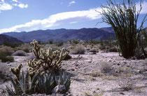 Der Ocotillo (Fouquieria splendens), rechts, ist ein laubabwerfender, xerophytischer Strauch (Wuchshöhe von 2 - 9m), mit bis zu 4 cm langen Dornen. Meist erscheint die Pflanze wie eine Ansammlung abgestorbener Zweige. Nach Regen wachsen schnell Blätter.