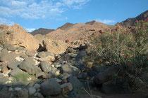 """Blick ins Wadi Dana im Dana NP mit seiner interessanten Vegetation (hier wilde Oleandersträucher). """"Wadi"""", französisch """"Oued"""", bezeichnet einen zeitweilig austrocknenden Flusslauf in einem Trockental in den Wüstengebieten Nordafrikas und Vorderasiens"""