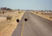 Auf der Fahrt von der Makgadikgadi-Salzpfanne nach Maun hatte wir vor uns auf der Strasse einige seltsame Fussgänger...Diese wichtige Verbindung ist, wie andere Überlandstrassen in Botswana, eben nicht durch einen Wildzaun geschützt.