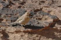 Beim Abstieg von Ed-Deir sahen wir den Einödgimpel auch Sinaigimpel genannt (Carpodacus erythrinus). Die Geschlechter unterscheiden sich in der Färbung: Das Weibchen ist beige bis sandgrau, das geschlechtsreife Männchen hat eine prächtige rote Bauchseite.