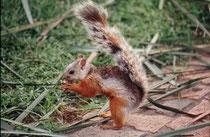 Hörnchen (Art ?).