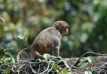 Auf dem Anwesen tummelten sich nicht nur diverse Vögel, sondern - neben Hulman Languren -  auch Rhesus Affen (Macaca mulatta). Diese sind in Bezug auf ihren Lebensraum nicht wählerisch und kommen sogar in Grossstädten, Bahnhöfen, und Tempelanlagen vor.