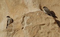 Neben Reptilien waren die Felswände im Eingangsbereich zum Sik auch von einigen Vogelarten bevölkert: Hier zwei Steinschwalben  (Ptynoprogne fuligula). Der Sik war zur Hochphase von Petra im 2. Jahrh. v. Chr. wie auch heute noch der Hauptzugang zur Stadt.