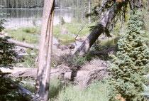 """Bei den Untersuchungen zu den Bärenbäumen (s. Kapitel """"Zoo"""") ging ich im Grand Teton NP allein einem See entlang, und hörte es Platschen. Ich dachte, es sei ein Kanufahrer und stiess fast auf einen wahrhaftigen Elch ! Mein rascher Rückzug war filmreif !"""