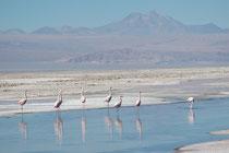 Wir haben hauptsächlich den Chileflamingo (Phoenicopterus chilensis) gesehen. Der Vogel ist 120 - 140 cm gross und gut erkenntlich an den zweifarbigen Beinen: Die Füsse und Intertarsalgelenke sind rot, der Rest der Beine bläulich (Salar de Atacama)