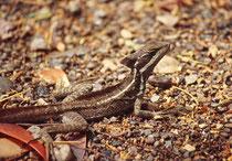 Der Streifenbasilisk hat eine durchschnittliche Körperlänge von ca. 20 cm plus eine Schwanzlänge von 40 cm. Er lebt überwiegend am Boden, gilt aber auch als ausgezeichneter Kletterer. Die Nähe zum Wasser wird immer gesucht.