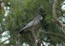 """Als wir nach Portland vom Princess Highway in die Yambuck Coastal Reserve abbogen, entdeckten wir in den Bäumen Vögel, die ich überhaupt nicht ansprechen konnte. Es handelte sich um Hekmkakadus, """"Gang-gang cockatoo"""" (Callocephalon fimbriatum)."""