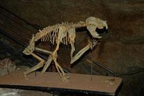 Die Fossilfallen sind besonders wichtig für die Erforschung der australischen Megafauna. Das hier ist das Skelett eines längst ausgestorbenen Beutellöwen.