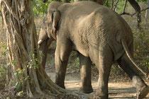 Der Elefant entfernte sich von uns und der Fahrer folgte ihm. Dabei sahen wir deutlich die vom dauernden Urintröpfeln und von Urinspritzern nasse Hinterbeine. Die Geruchssignale machen  insbesondere andere Bullen auf seinen hocherregten Zustand aufmerksam
