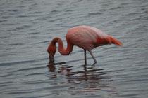 """Die Nahrung der Kuba-Flamingos (auch """"Caribbean Flamingo"""") besteht hauptsächlich aus Kleinkrebsen, die sie aus dem Wasser filtern. Das Gefieder ist einheitlicher und kräftiger rot. Als das anderer Flamingoarten. Die Geschlechter sind kaum zu unterscheiden"""