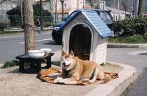 Akita-ähnlicher Hund auf einer Verkehrsinsel (!) (Kyoto). Wie die Japaner in den Städten bei den beengten Wohnverhältnissen Hunde tiergerecht halten können/wollen ist ohnehin ein Rätsel.