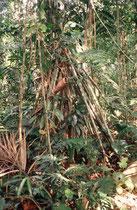 Pfahlwurzeln im Regenwald.