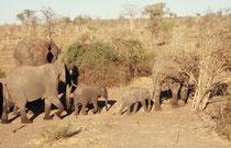 Der Chobe Nationalpark hat mit rund 50'000 Tieren die höchste Elefantendichte Afrikas. Die meisten kommen zum Ufer des Chobe Flusses zum Trinken. Die nähere und weitere Umgebung weist denn auch alle Zeichen enormer Belastung auf (trocken, vegetationsarm).