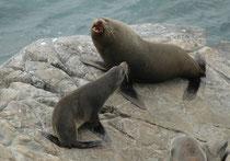 Bullen des Neuseeländischen Seebären (mit der schwarzen Halsmähne) erreichen eine Grösse von 250 cm und ein Gewicht von 180 kg. Kühe sind mit 150 cm und 70 kg viel kleiner. Die Bestände an Neuseelands Küsten umfassen heute wieder 60.000 Tiere und wachsen.