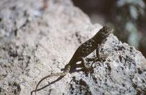 """Hier handelt es sich vermutlich um den Blauen Stachelleguan (""""Blue Spiny Lizard"""" (Sceloporus serrifer cyanogenys¡), eine für die Trockengebiete des südwestlichen Nordamerikas typische ovovivipare Echse, die sich  hauptsächlich von Insekten ernährt."""
