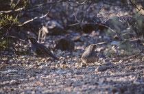 """Die 23-27 cm grosse Helmwachtel (""""Gambels Quail"""" [Callipepla gambelii]) mit der nach vorne ragenden, kommaförmigen, schwarzen Federhaube, kommt im SW der USA und in Nordmexiko vor. Sie ähnelt der Schopfwachtel, die aber einen gesprenkelten Bauch hat."""