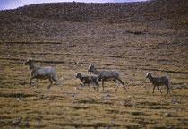 """Zu den weitgehend gebirgsbewohnenden Arten gehört das """"Rocky Mountain Bighorn Sheep"""", das Dickhornschaf (Ovis c. canadensis). Die Hörner der Männchen sind massiv und gedreht, die der Weibchen sind, wie man sieht, kleiner und ragen säbelartig nach hinten."""
