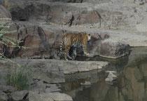 """Am 28. Februar 20117 wurde """"Ladali""""  mit drei Jungen ihres vierten Wurfes beobachtet. Wir sahen sie noch mit zwei Jungen (am 3. Juni 2017 erneut beobachtet). Eine Tigermutter und ihre Nachkommen sind die grundlegende soziale Einheit beim Bengaltiger."""