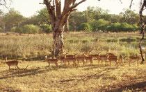 In dieser lieblichen Gegend schlugen wir unser Nachtlager auf, neugierig beobachtet von einer Herde Impalaweibchen (Aepyceros melampus melampus) (Moremi)