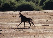 Ein prächtiger, tiefschwarzer Rappenantilopen-Bock (Hippotragus niger). Interessant bei dieser Antilopenart ist, dass die Weibchen und jungen Männchen rot- bis dunkelbraun sind und oft den Eindruck erwecken, sie gehörten einer anderen Art an. (Chobe NP)