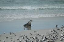 Einen Grossteil ihres Lebens verbringen Australische Seelöwen an Land. Auf Nahrungssuche gehen sie überwiegend in der Nacht, und eher selten tagsüber.
