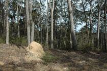 Auf der Fahrt von Tahtra nach Tilba entdeckten wir einen Wald mit mehreren Termitenhügeln. Termiten (Isoptera) sind eine staatenbildende, in warmen Erdregionen – also durchaus auch in Australien - vorkommende Ordnung der Insekten.