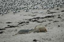Verglichen mit der anderen Robbe auf Kangaroo Island, dem Neuseeländischen Seebären, ist der Australische Seelöwe eher selten. Der Gesamtbestand wird auf höchstens 12'000 Tiere geschätzt. Früher war er weiter verbreitet und zahlreicher als heute.